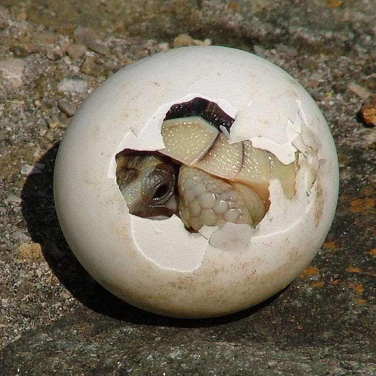 Les amniotes protègent leurs petits dans des œufs ou dans l'utérus de la mère dans un sac rempli de liquide : l'amnios. Seuls les vertébrés supérieurs sont concernés. © Saperaud, Wikipédia, cc by sa 3.0