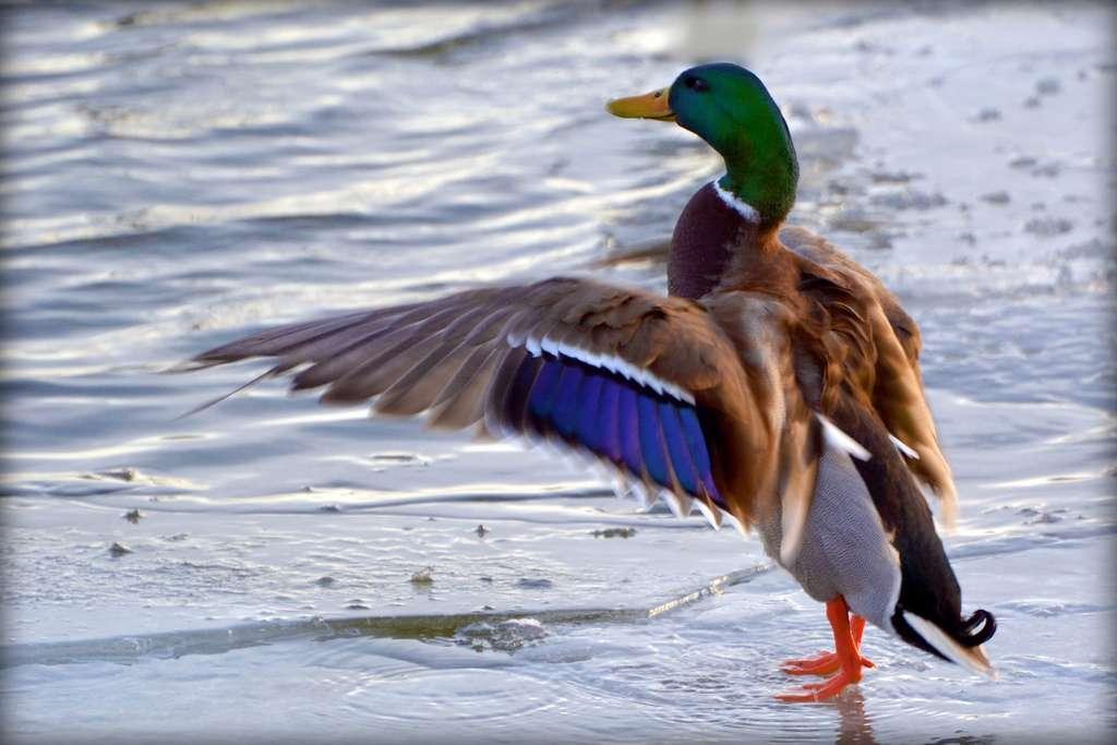 D'après cette étude, les virus de la grippe aviaire de type H7 évolueraient chez le canard. Différents types de virus seraient transmis par les canards sauvages (ici, un représentant de l'espèce Anas platyrhynchos ou canard colvert) aux canards domestiques. Chez eux, ils se réassortiraient pour former de nouveaux virus potentiellement dangereux et transmissibles au poulet, et à l'Homme. © blmiers2, Flickr, cc by nc sa 2.0