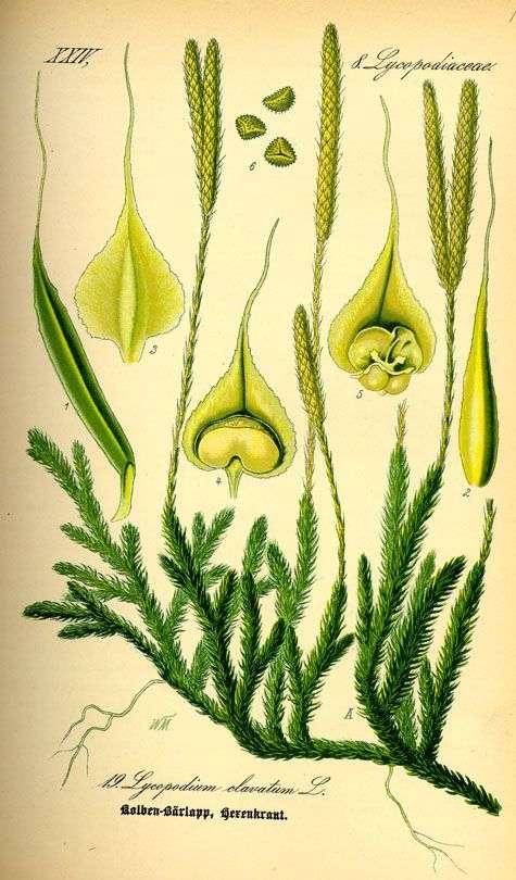 Lycopodium clavatum (planche ancienne). Flora von Deutschland, Österreich und der Schweiz, 1885, Gera, Allemand