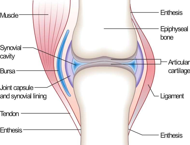 L'articulation synoviale est complexe. À leur extrémité, les deux os sont composés d'un cartilage articulaire (articular cartilage) baignant dans une cavité (synovial cavity). De part et d'autre, des synoviocytes (synovial lining) synthétisent la synovie pour éviter les frottements, mais aussi nourrir les chondrocytes. © Madhero88, Wikipédia, cc by sa 3.0