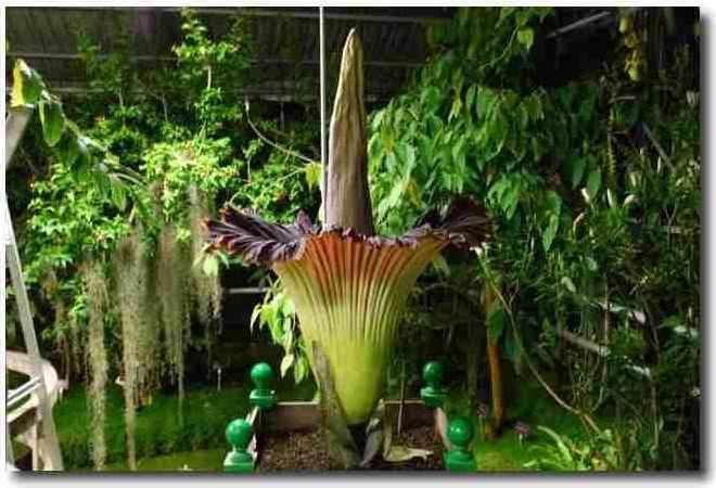 L'Arum Titan (Amorphophallus titanum), la plus grande inflorescence du monde, ici en début de floraison, au conservatoire botanique de Brest, en juin 2009. La partie rouge et verte est une spathe. © Conservatoire botanique de Brest