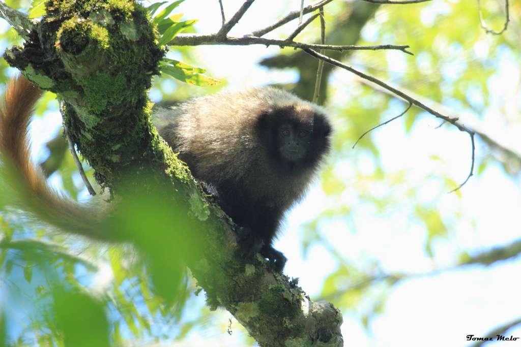 Les titis à front noir (Callicebus nigrifrons) sont considérés comme quasi-menacés par l'UICN depuis 2008. L'espèce est frugivore, monogame et territoriale. © Tomaz Nascimento de Melo, Flickr, cc by 2.0