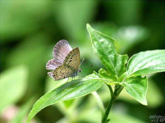 Le cycle de reproduction de Zizeeria maha est d'à peu près 1 mois, justifiant l'intérêt des scientifiques pour cette espèce. Il ne faut en effet pas attendre trop longtemps avant de pouvoir observer le résultat des expériences. © ashung, Flickr, CC by-nc-sa 2.0