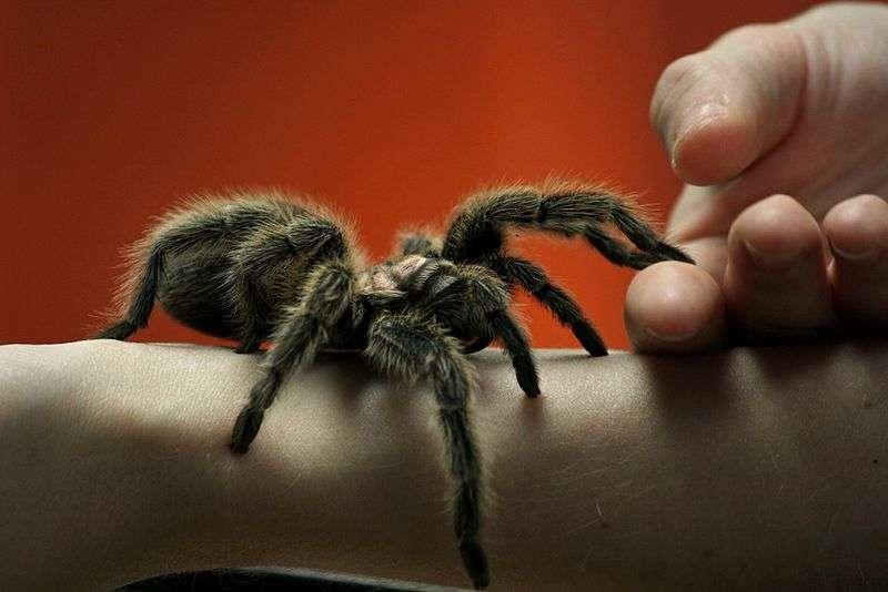 N'ayez pas peur des araignées : il est peu probable qu'elles transmettent des maladies bactériennes. © GollyGforce - Living My Worst Nightmare, Flickr, CC by 2.0