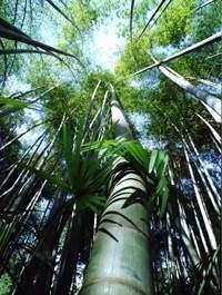 Des vêtements à base de bambous japonais