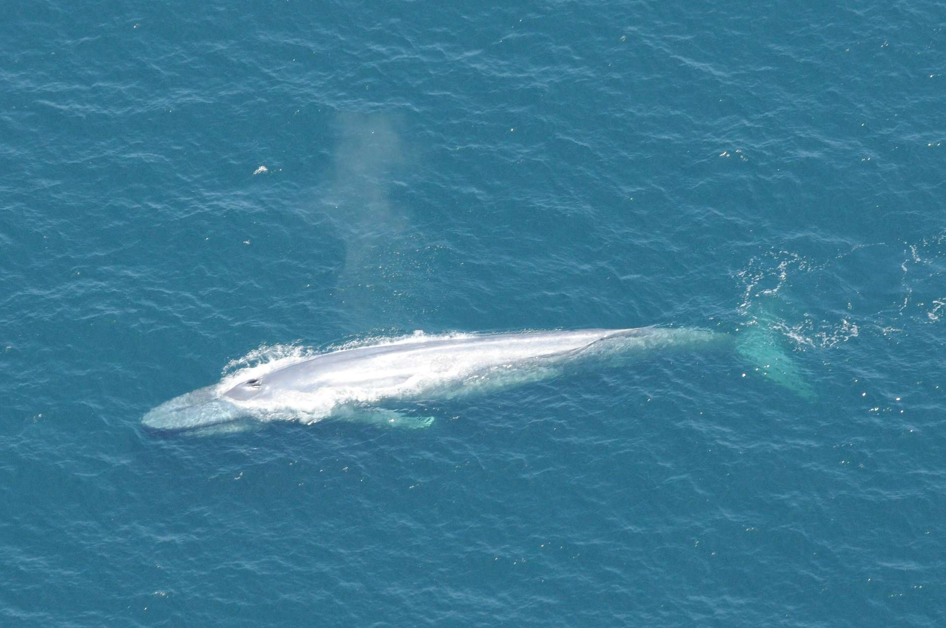 La baleine bleue est la plus gros animal sur Terre. © NOAA, Channel Islands National Marine Sanctuary
