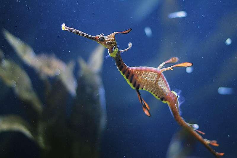 Il existe une cinquantaine d'espèces d'hippocampes dans le monde. Ces poissons osseux mesurent entre 2 et 15 cm, et peuvent vivre jusqu'à sept ans. © VincentRousseau54, Flickr, cc by nc nd 2.0