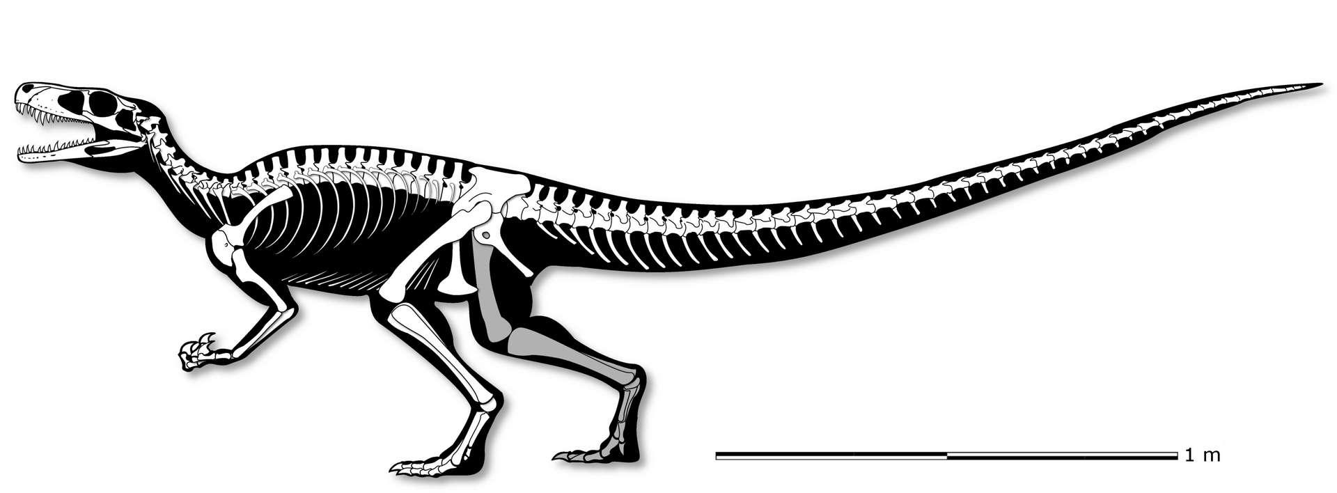 Gnathovorax cabreirai mesurait environ 3 mètres de long pour un poids d'une tonne. © Cristian Pacheco et al, PeerJ, 2019