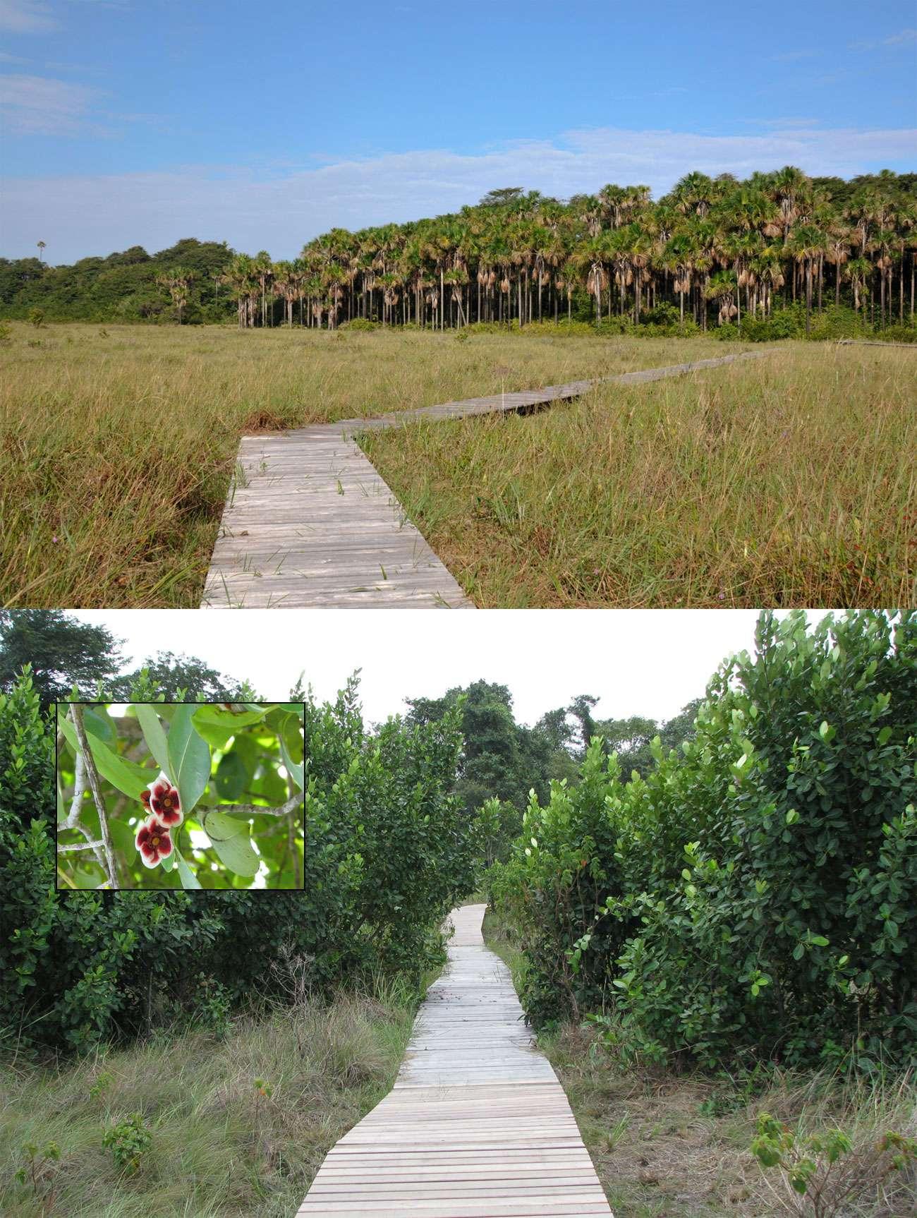 Ébène (en haut de l'image) et Clusia (en encart, la fleur qui lui a donné son nom), les deux sentiers environnementaux du Centre spatial guyanais. © Rémy Decourt