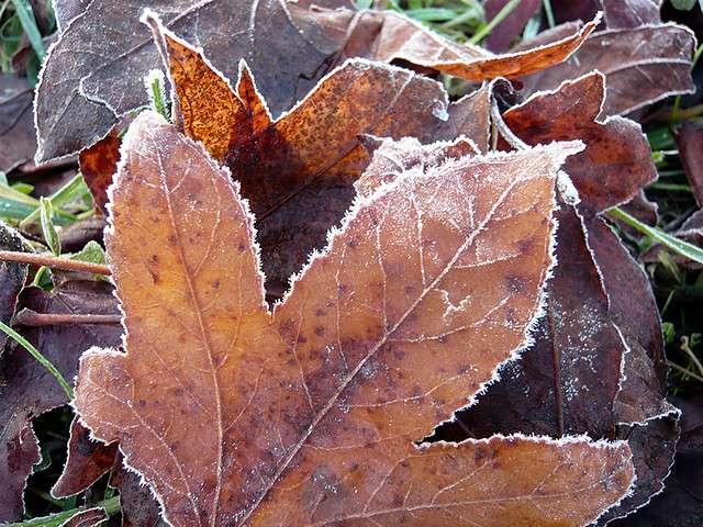 Une feuille morte ornée de cristaux de glace qui pourraient être du givre ou de la gelée blanche. © Bruno P. CC by-nc-nd 2.0