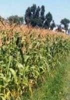 Le maïs OGM peut-il coexister avec le maïs classique ?