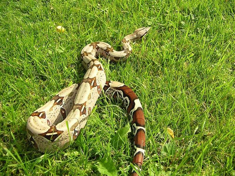 Les boas constricteurs vivent en principalement en Amérique du Sud. Ils peuvent atteindre une taille de 2 à 3 mètres. © Embreus, Wikimedia commons, CC by-sa 3.0