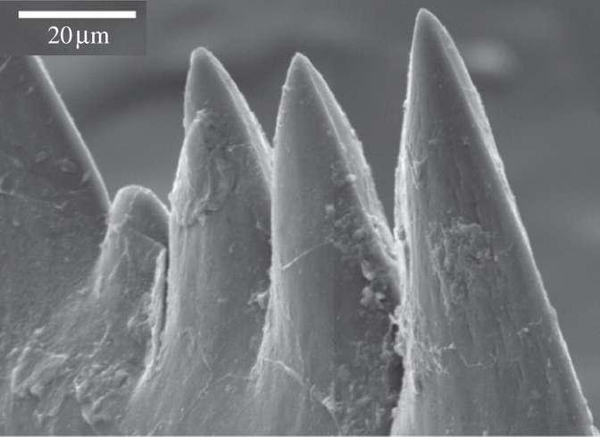 Les dents des conodontes étaient extrêmement pointues. La largeur de la pointe mesurait environ 2 microns. &copy: Jones et al. 2012, Proc. Roy. Soc. B