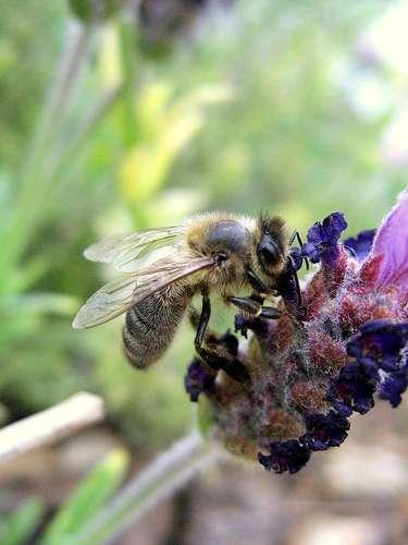 Une piqûre d'abeille peut engendrer un œdème de Quincke. © BenoitD1981, Flikr, Creative Commons