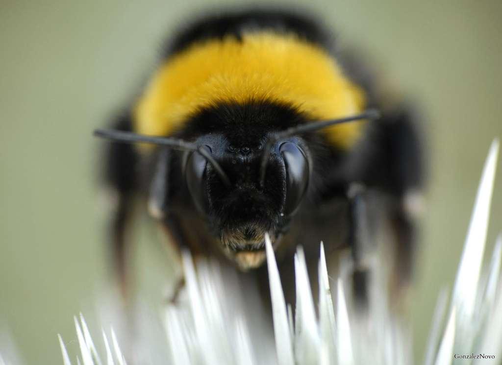 Le bourdon terrestre Bombus terrestris appartient à la famille des abeilles, les apidés. Il établit chaque année de nouveaux nids sous terre. Cet animal se nourrit exclusivement de pollen et de nectar. Face au déclin des abeilles, il est de plus en plus élevé en tant qu'espèce pollinisatrice. © Gonzalez Novo, Flickr, cc by sa 2.0