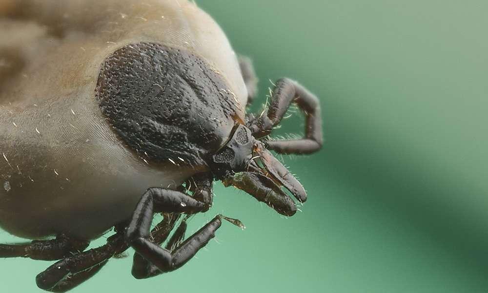 Les tiques peuvent transmettre un virus causant des encéphalites. © Makro Freak, Wikipedia, CC by-sa 2.5