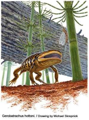 Corps de salamandre et tête de grenouille : Gerobatrachus hottoni en balade au Permien. Crédit : université de Calgary