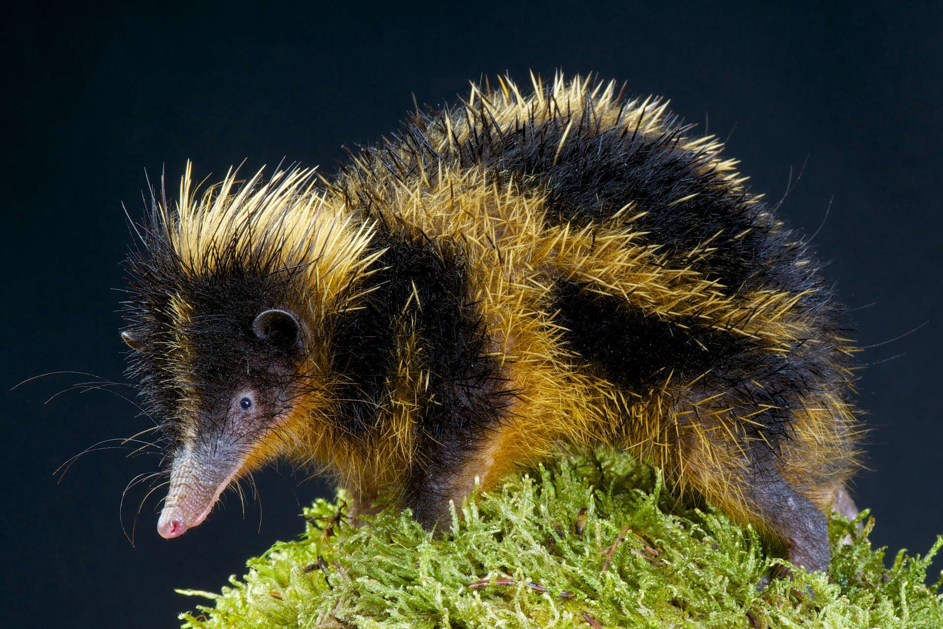 Un tenrec zébré adulte, petit mammifère endémique de Madagascar. © mgkuijpers, Adobe Stock
