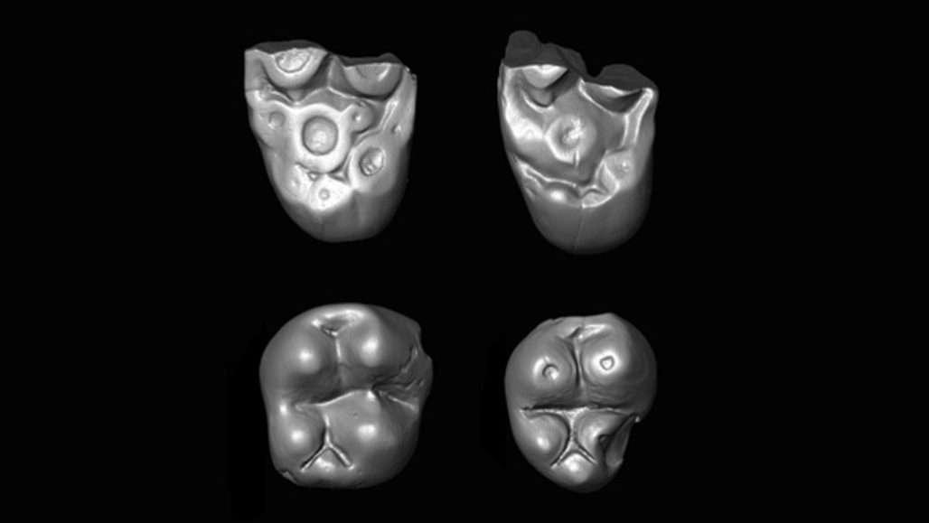 Ces dents appartiendraient à une espèce de singe ayant traversé l'océan Atlantique, pour vivre involontairement le rêve américain. © Erik Seiffert, Science