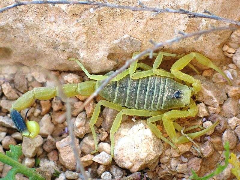 Le venin du scorpion du désert israélien est l'un des plus dangereux. © Ester Inbar, Wikimedia
