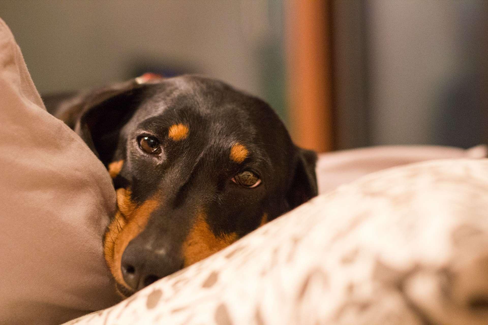 Le coronavirus canin entérique (CCoV) est à l'origine de la vague de chiens malades en Angleterre au début de l'année 2020. © Emily Orpin, Flickr