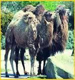 Le chameau bactrien, menacé d'un risque d'extinction, est victime de la chasse. Crédit : CIRS