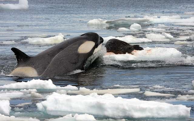 L'orque est au plus au niveau trophique. C'est l'un des superprédateurs marins, consommateur de poissons et de mammifères. D'après cette étude, s'il venait à disparaître, il se pourrait que d'autres prédateurs comme le requin blanc disparaissent à leur tour. © Robert Pitman, DP
