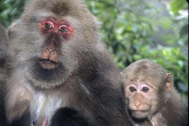 Les macaques et les hommes, deux catarhiniens, auraient divergé plus récemment que ce que l'on pensait. © Wikimedia Commons
