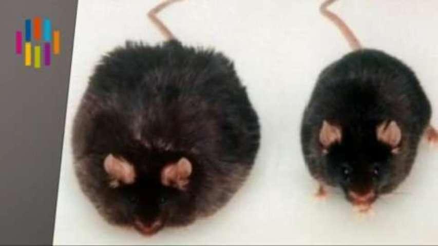 Notre second cerveau responsable de l'obésité ?