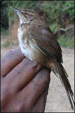 Bouscarle de Grauer (Bradypterus graueri)