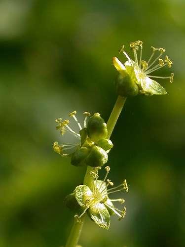 La mercuriale vivace Mercurialis perennis est une plante des bois qui affectionne les sols calcaires et basiques. © --Tico-- CC by-nc-nd 2.0