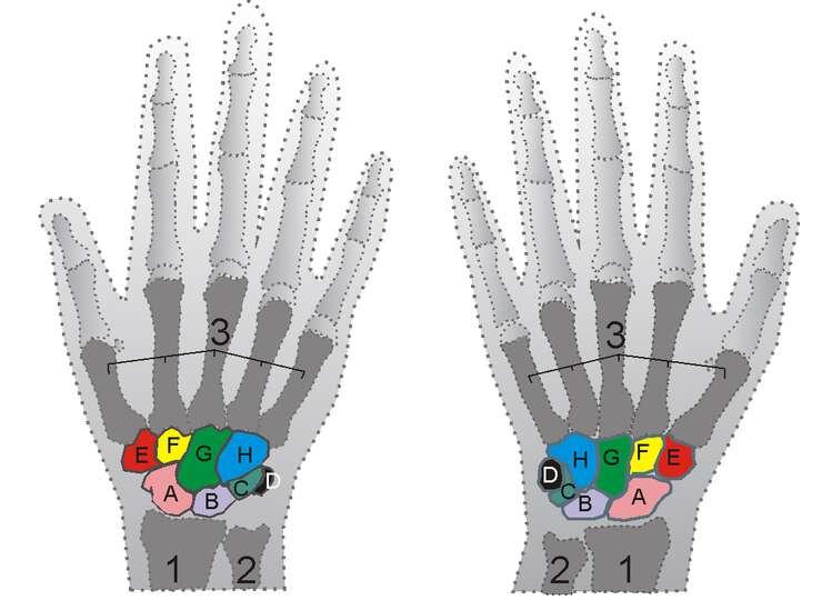 Squelette des mains droite et gauche. 1-radius ; 2-ulna ; 3-métacarpiens ; A-scaphoïde ; B-lunatum ; C-triquetrum ; D-pisiforme ; E-trapèze ; F-trapézoïde ; G-capitatum ; H-hamatum. © Zoph, Wikimedia, CC by-sa 3.0