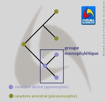 Les synapomorphies forment des groupes monophylétiques. © Bruno Scala/Futura-Sciences