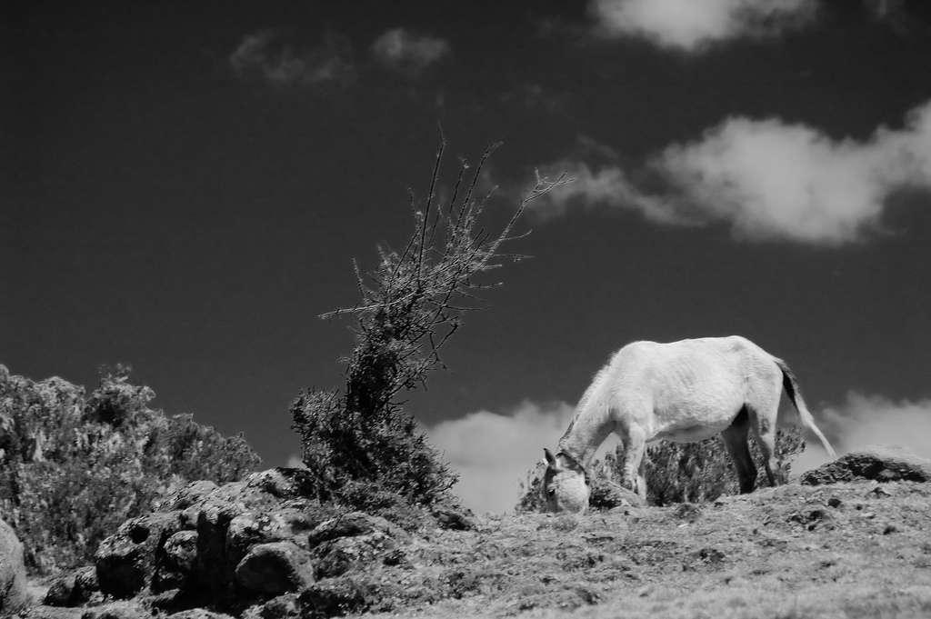 L'actuelle famille des équidés rassemble trois groupes : les chevaux, les zèbres et les ânes. Ils sont tous périssodactyles, ce qui signifie qu'ils ont un nombre impair de doigts, ici un. © Martino's doodles, Flickr, cc by nc sa 2.0