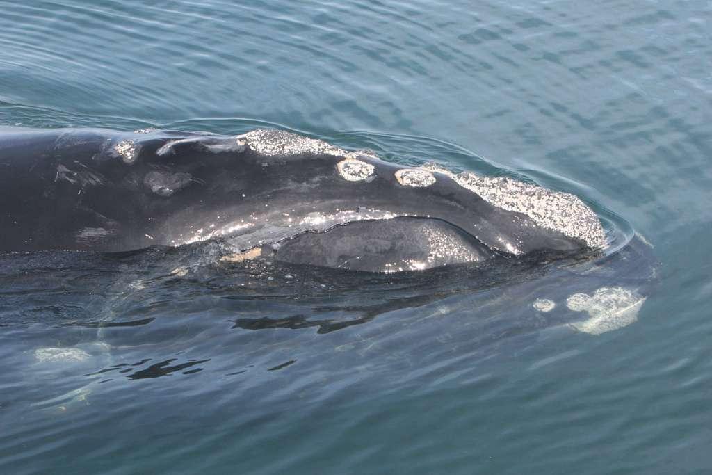 Des spécialistes présents sur le navire Endeavor ont pu identifier visuellement quatre des neuf baleines détectées par les gliders. Il s'agissait de trois mâles (deux sont nés en 2006 et un en 2004) et d'une femelle qui a vu le jour en 2008. Les baleines Eubalaena glacialis aiment passer la fin de l'automne et le début de l'hiver dans le golfe du Maine. © My FWC Research, Flickr, cc by nc nd 2.0