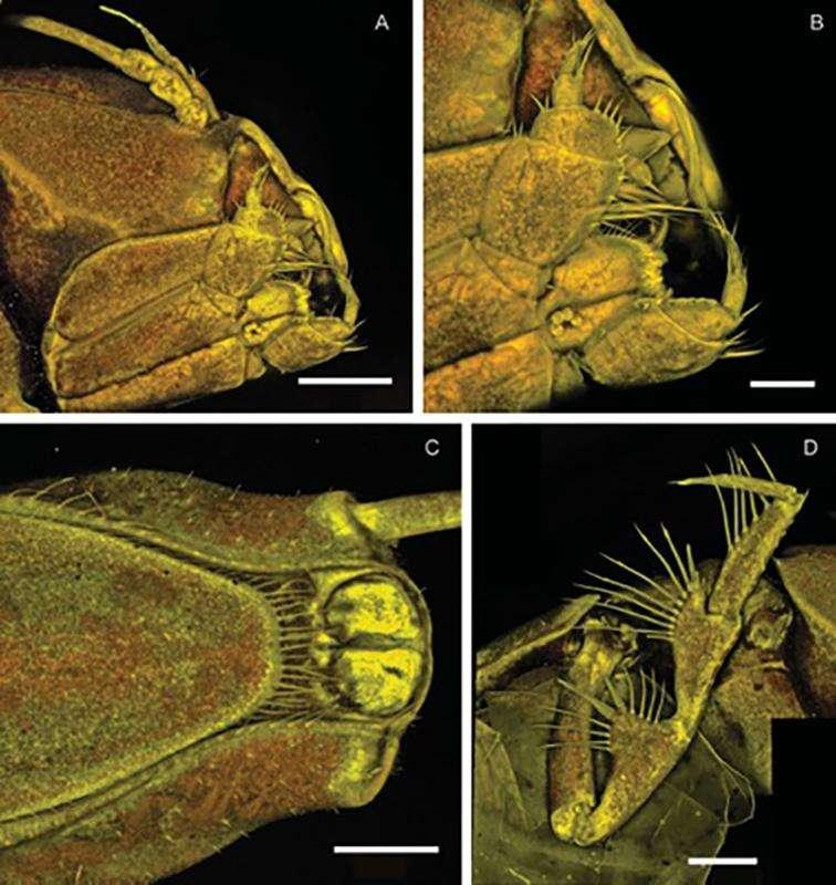 Ce crustacé microscopique a été nommé en l'honneur du groupe de heavy métal, Metallica. © Riehl et De Smet