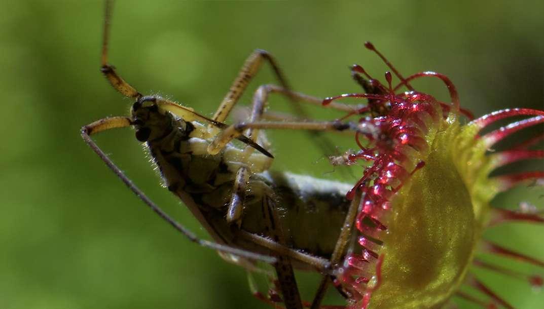 Petits secrets de plantes carnivores