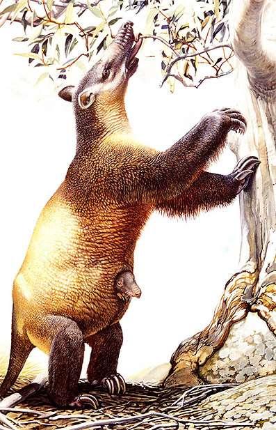 Vue d'artiste du marsupial géant Palorchestes azael, animal disparu d'une demi-tonne et cousin lointain du paresseux. © Peter Schouten