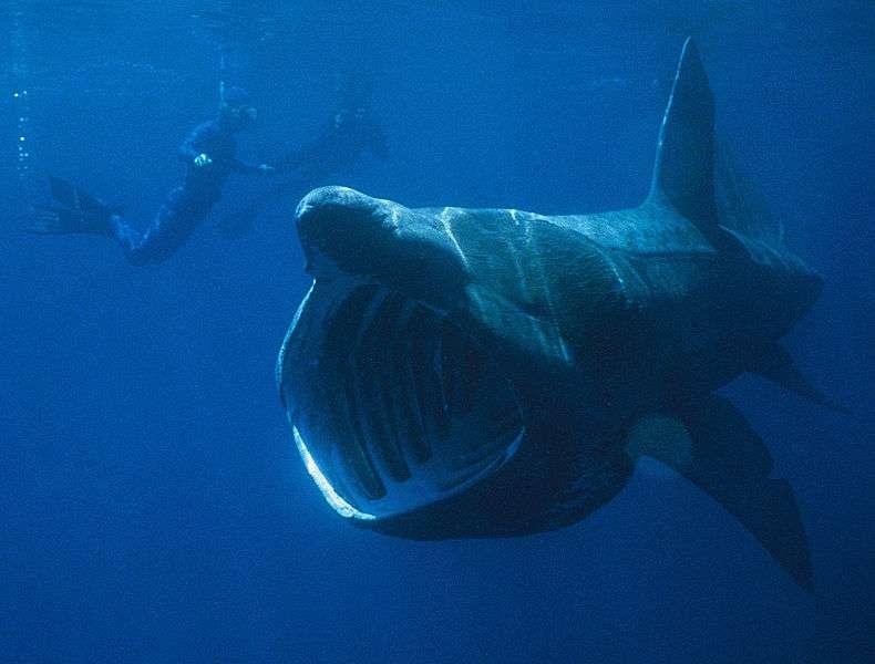 Jusqu'à 12 m de longueur et 5 t sur la balance, mais complètement inoffensif et très mal connu... C'est le requin pèlerin, un habitant des mers et océans tempérés du globe. © Chris Gotschalk, Wikimedia Commons, DP