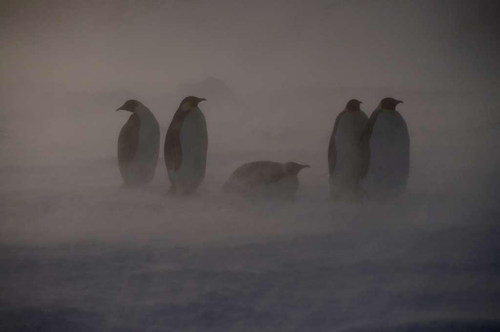 La circulation dominante dans l'océan austral est animée par les vents d'ouest qui génèrent le courant circumpolaire antarctique. Mais des circulations locales surviennent sur le continent. La vitesse moyenne du vent est relativement modérée dans les régions centrales (10 à 20 km/h) et plus élevée sur les côtes (30 à 70 km/h) où les rafales peuvent atteindre des vitesses record de plus de 300 km/h. © DomDom60, Flickr, cc by nc nd 2.0