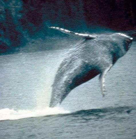 Baleine à bosse. Source : gouvernement des Etats-Unis