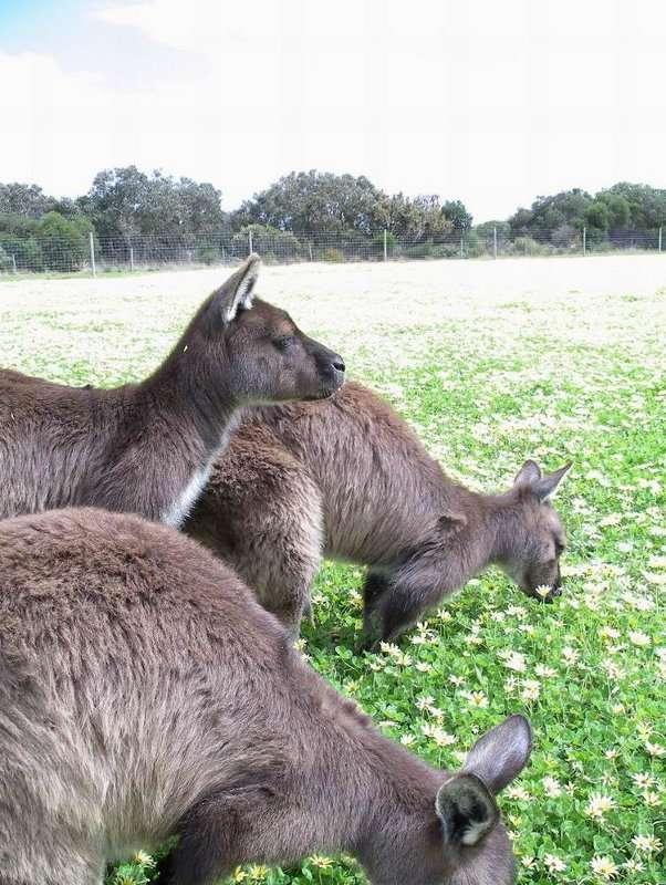 Si, pour certaines plantes, la tonte liée à la présence d'herbivores peut être un stimulateur de croissance, il n'est pas dit que les marguerites de ce champ soient ravies de la présence de ces kangourous... © Alan Wolf, CC by-nc-sa 2.0