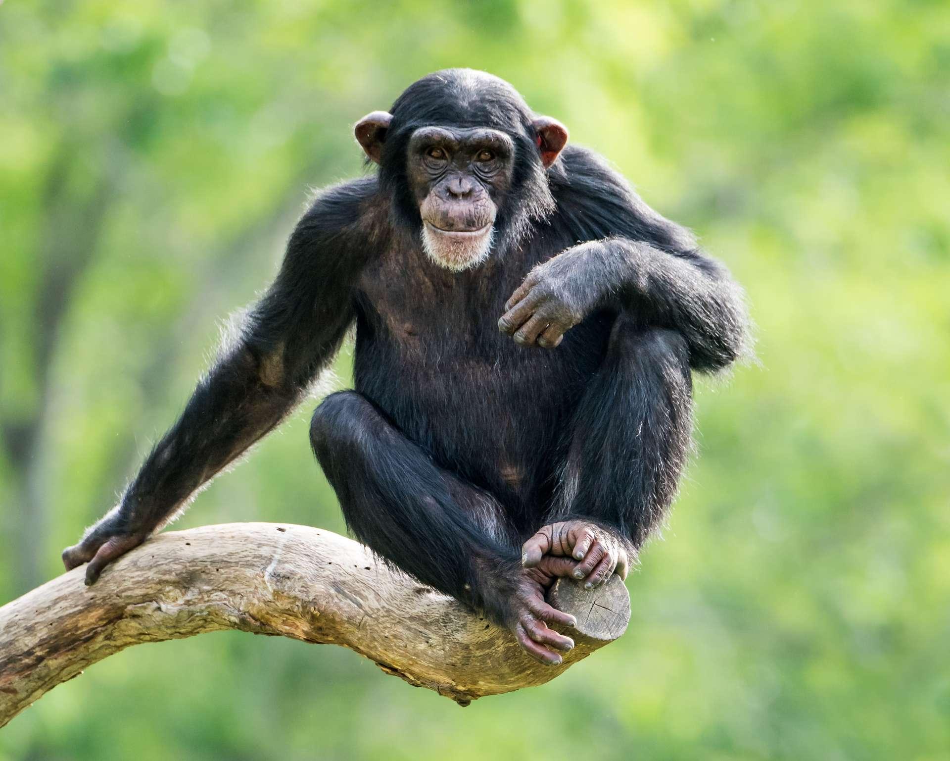 Il existe deux espèces de chimpanzés : le chimpanzé commun (Pan troglodytes) et le chimpanzé nain, ou bonobo (Pan paniscus). © Abeselom Zerit, Adobe Stock