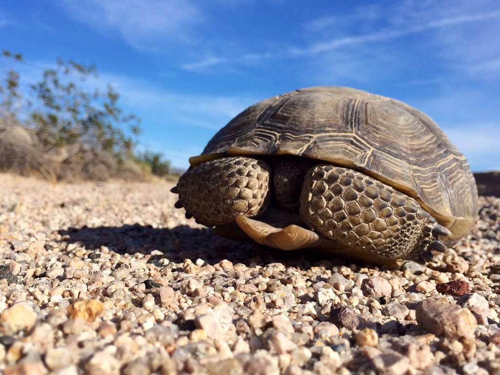 Les tortues du désert Gopherus agassizii vivent 50 à 80 ans. Elles ont un faible taux de reproduction, mais leur fertilité ne fait qu'augmenter avec l'âge de l'animal. © mikebaird, Flickr, cc by 2.0