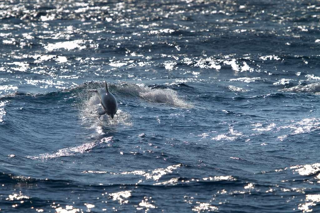 Les tursiops communs, ou grands dauphins, sont des cétacés à dents, autrement appelés odontocètes. Ils vivent dans les eaux tempérées et tropicales tout autour du globe. © Squallidon, Filckr, cc by nc sa 2.0