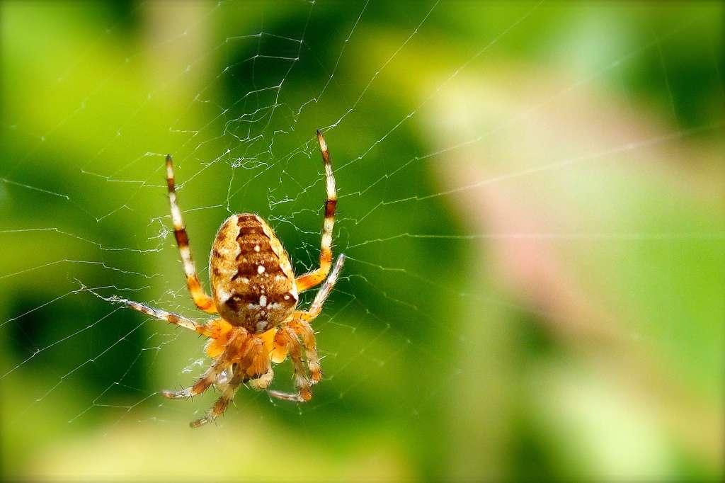 Certains scorpions ou araignées, des arachnides, sécrètent des venins qu'ils injectent respectivement via leur dard ou leurs chélicères. Ces substances peuvent être des neurotoxines (elles s'attaquent au système nerveux) ou des hémorrhagines (elles empêchent la coagulation du sang et provoquent des nécroses locales). © Jean-Marie Huet, Flickr, cc by nc sa 2.0