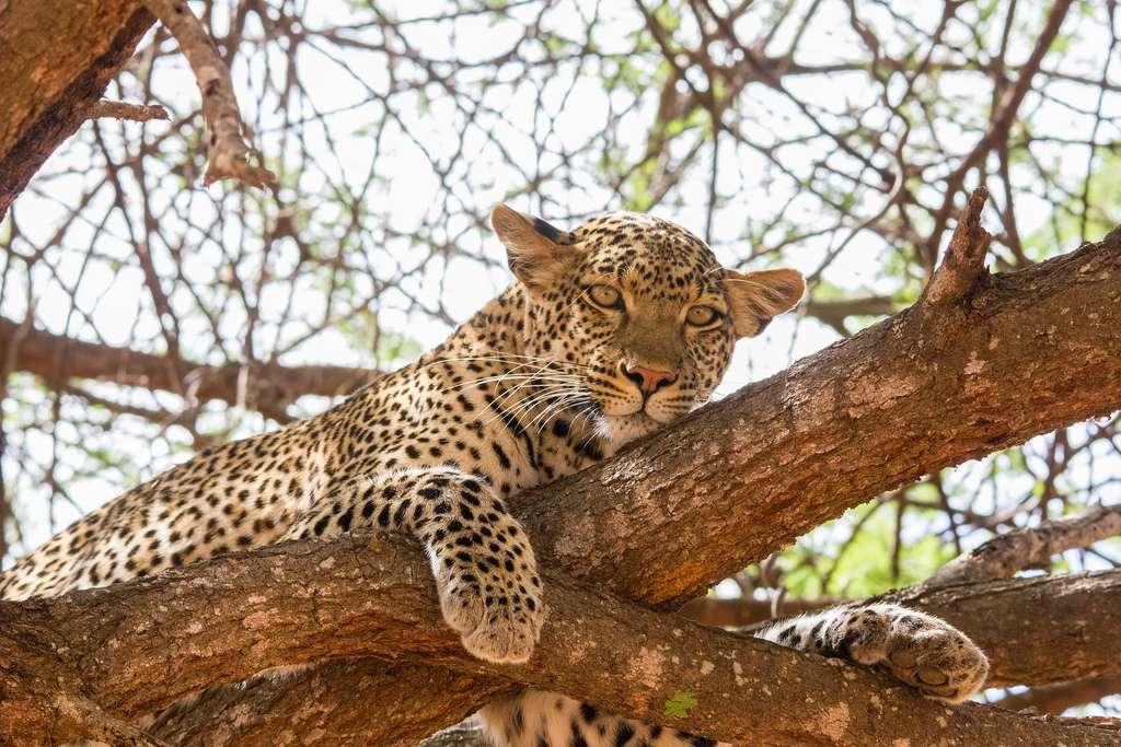 Historiquement, les léopards Panthera pardus ont occupé un territoire de 891.817 km2 dans le Sahara, soit bien plus que les 29.221 km2 actuels. Ce félin serait proche de l'extinction dans cette région aride du globe. © Peter R Steward, Flickr, cc by nc 2.0