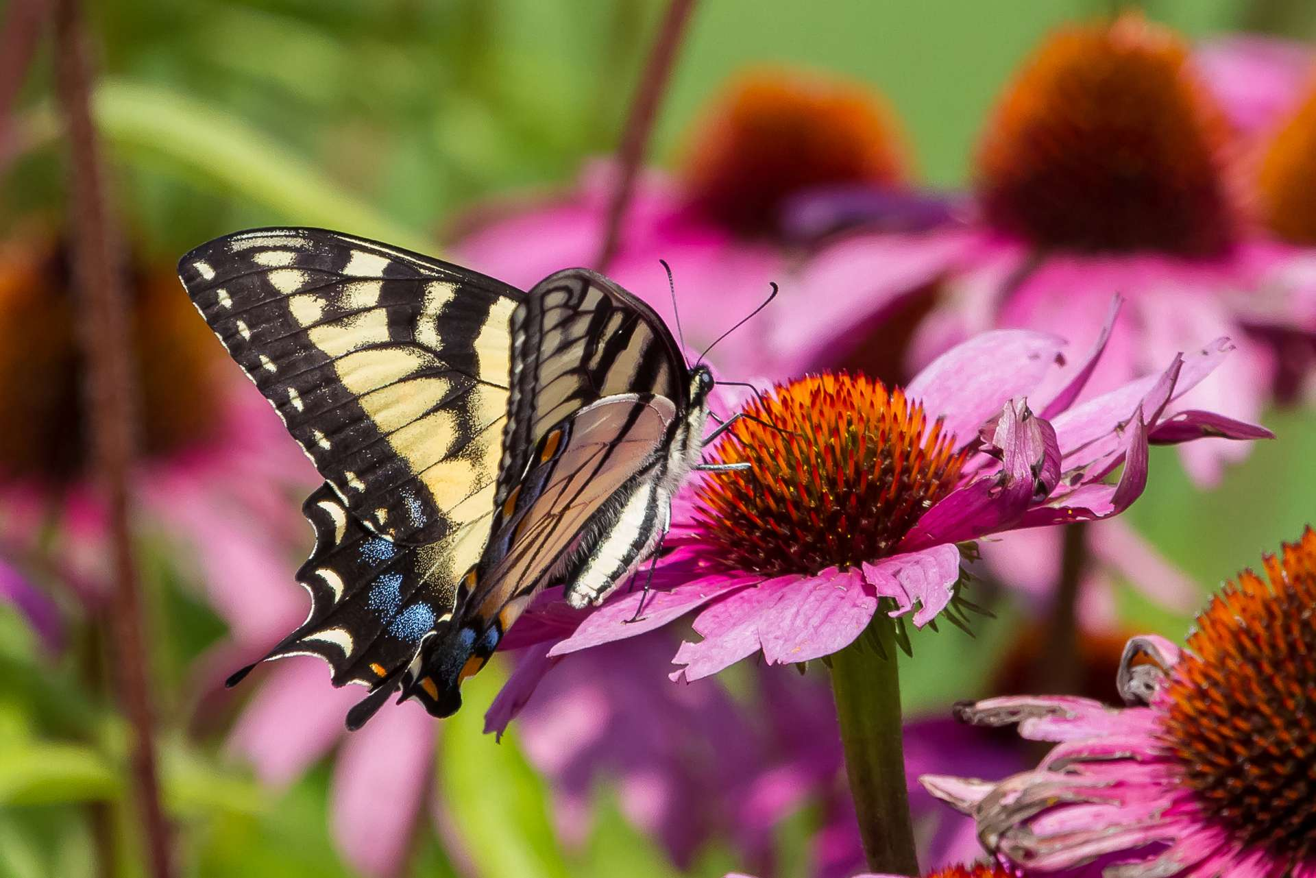 Les papillons font partie des insectes pollinisateurs. © Proedding, Adobe Stock
