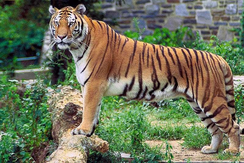 Photo d'un tigre du Bengale. © Hollingsworth, John and Karen, domaine public