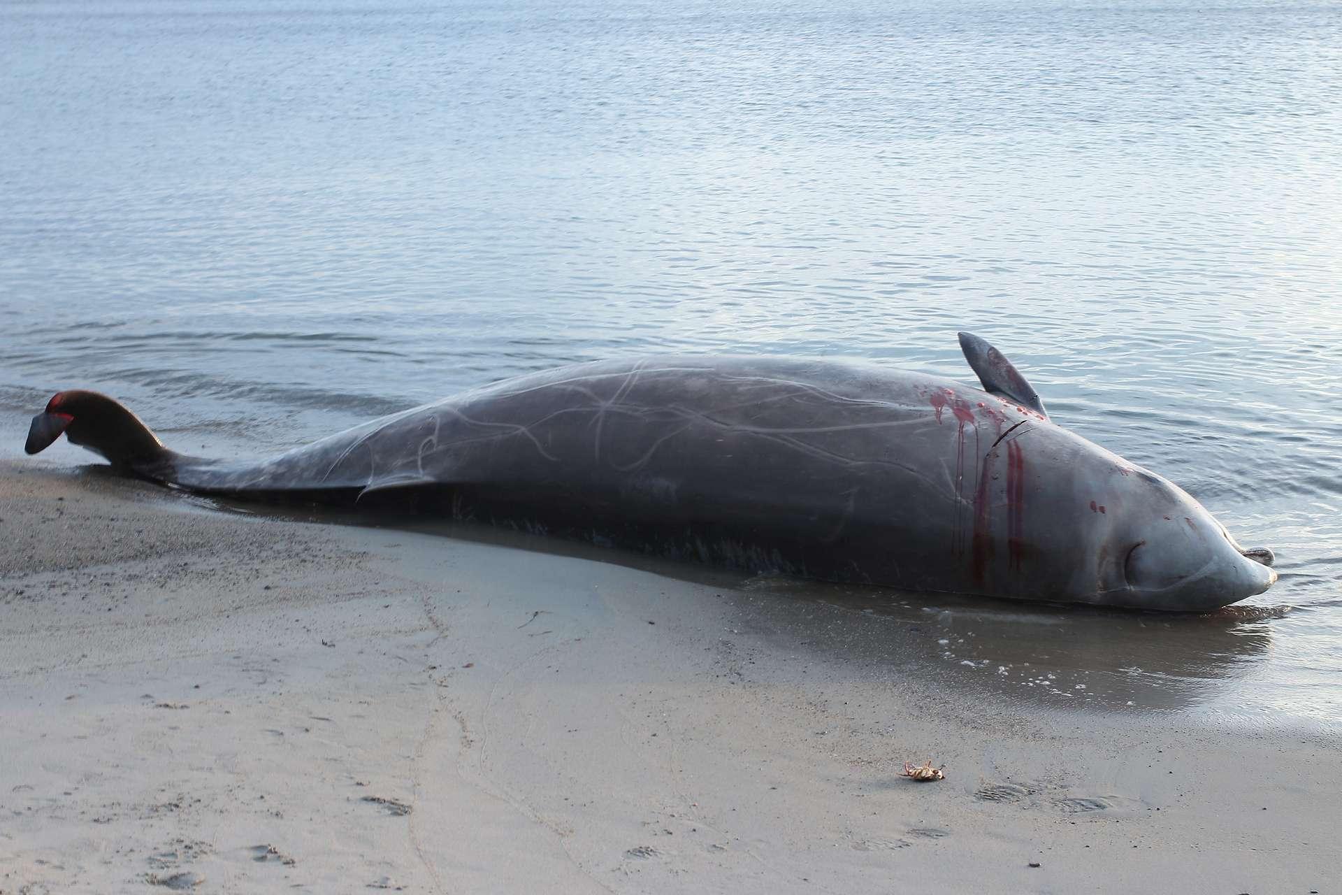 Les baleines à bec vivent habituellement dans les eaux profondes où elles se nourrissent de calmars. Il est très rare de les voir en surface. © Silver Leapers, Flickr